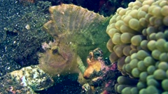 Leaf scorpionfish (Taenianotus triacanthus) white, moving with the waves Stock Footage