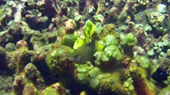 Leaf scorpionfish yellow-green swimming on top of table coral Stock Footage