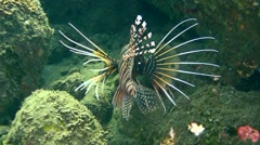 Spotfin lionfish (Pterois antennata) swimming Stock Footage