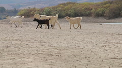 Group of goats going to drink water from the lake in to the wild and desert soil Stock Footage