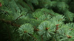Needles blue spruce close-up. Stock Footage