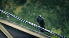 Bird On Wire In Heavy Rainstorm Stock Footage