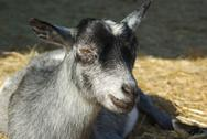 Little gray goat resting on hay at the farm Stock Photos