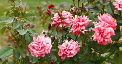 Red roses in the garden moving fluttering on the wind Stock Footage