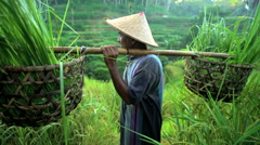 Portrait of male Indonesian worker carrying crops of rice plants harvested from Stock Footage