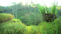 Tropical view of traditional Bali rice farmer working on hillside field carrying Stock Footage