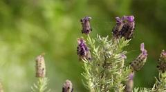 Lavandula stoechas (French lavender) Stock Footage