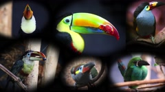 Portraits of Toucans, Collage - 4K Video Stock Footage