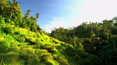 Indonesian traditional male worker on hillside rice field collecting harvest Stock Footage