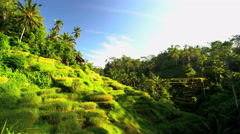 Indonesian male manual worker on hillside rice field gathering the crop while Stock Footage
