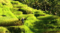 Male worker carrying baskets of harvested rice grain crop from tropical hillside Stock Footage