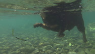 CLOSE UP, UNDERWATER: Adorable little dog swimming fast in cold refreshing river Stock Footage