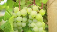 Wine grape of muscat. Stock Footage