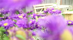 Amazing asters in the foreground, a garden with a seating area Stock Footage