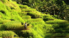 Indonesian traditional male worker on hillside rice field collecting harvested Stock Footage