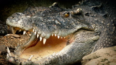 Big Crocodile Opens Mouth Stock Footage