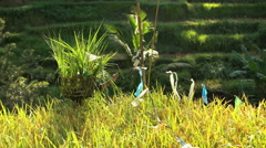 Male worker carrying baskets of rice plants protecting his crop on tropical Stock Footage