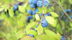 Plantation blue plums close-up.  Stock Footage