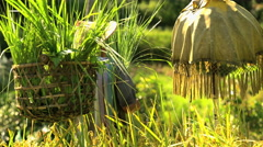 Tropical view of traditional Bali rice farmer protecting with umbrella his Stock Footage
