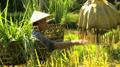 Male worker carrying baskets of rice protecting rice plants with umbrella on Stock Footage