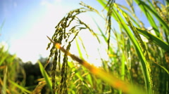 Tropical sunlight on hillside rice field with growing crop ready for harvest Stock Footage