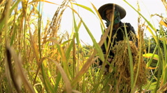 Traditional Indonesian female worker picking rice crop plant from terraced Stock Footage