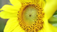 Beautiful yellow sunflower close-up Stock Footage