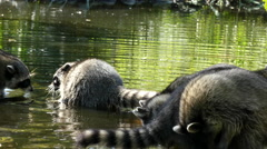 Racoons fight water closeup Stock Footage