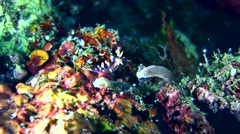 Flabellina exoptata sea slug Stock Footage