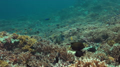 Angelfishes on a coral reef Stock Footage