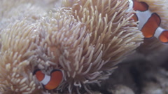 Clown Fish Swimming and Hiding in Sea Anemone Stock Footage
