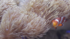Clownfish Swimming in Sea Anemone Stock Footage