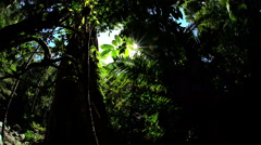Dense tree canopy with sun flare in tropical rainforest of Daintree National Stock Footage
