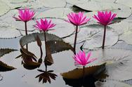 Pink water lily in green leaves on a surface of a lake Stock Photos