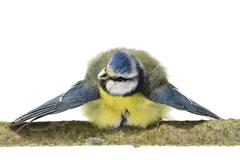 Blue tit with spread wings Stock Photos