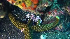 Harlequin shrimp (Hymenocera elegans) on top of sea star Stock Footage