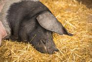 German pig sleeping on hay Stock Photos