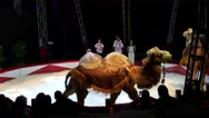 SOFIA, BULGARIA - Animal bactrian camels act in the circus arena Stock Footage