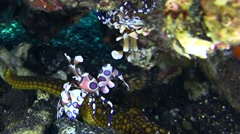 Harlequin shrimp lifting sea star with another shrimp above Stock Footage