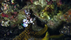 Harlequin shrimp (Hymenocera elegans) holding sea star Stock Footage