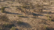 Aerial view of a herd of giraffes in natural habitat, South Africa Stock Footage
