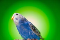 One blue parrot budgies Stock Photos