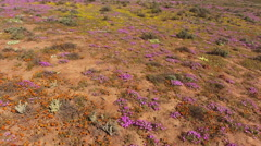 Low flying aerial view of wild flowers, Namaqualand, Northern Cape, South Africa Stock Footage