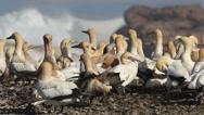Colony of breeding Cape gannets, Bird island, Lamberts Bay, South Africa Stock Footage