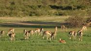 Herd of springbok antelopes feeding, Kalahari, South Africa Stock Footage