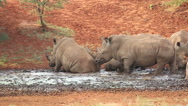 White rhinoceros wallowing in mud at a waterhole, South Africa Stock Footage