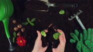 4k Gardening Composition of Hands Getting out Brussels  Cabbage  Stock Footage