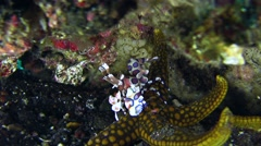 Harlequin shrimp (Hymenocera elegans) holding sea star and checking it Stock Footage
