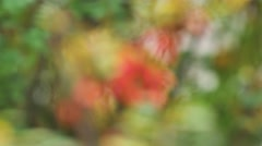 Barberry red berries on a green background sliding focus Stock Footage