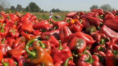 Picker loading trailer with red pepper close up, tracking by Cutter. Stock Footage